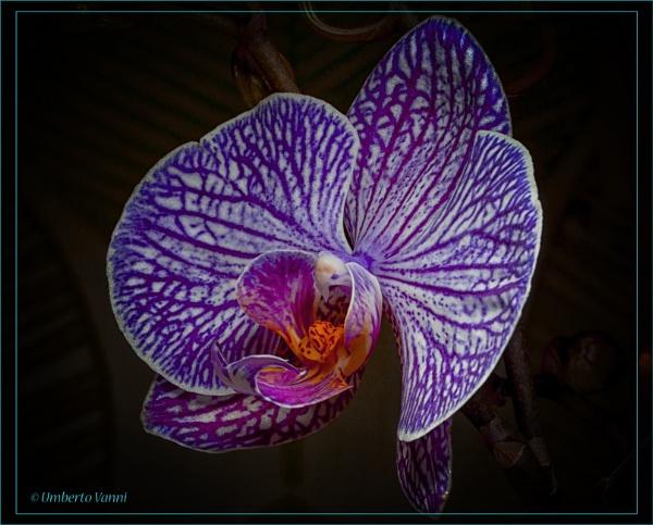 Moth orchid (Phalaenopsis) by Umberto_V