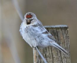 Hornemann's Arctic Redpoll
