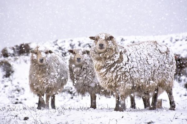 Snowy Shetland Sheep by HelenMarie