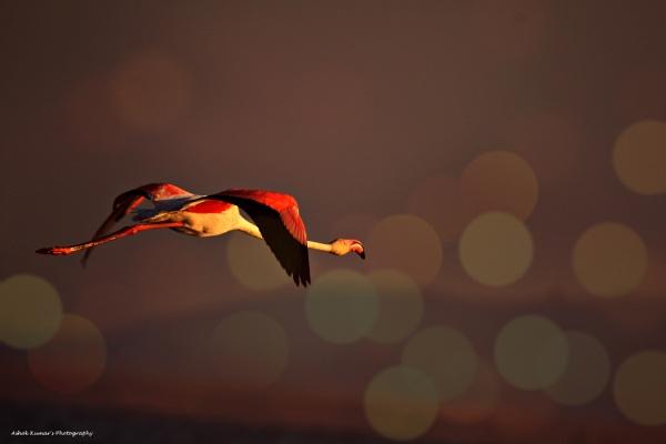 Greater flamingo in flight by ashokynk