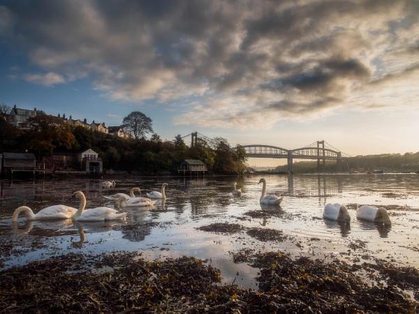Saltash Swans by blohum