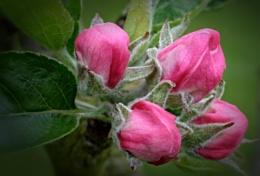 """Apple Blossom""."