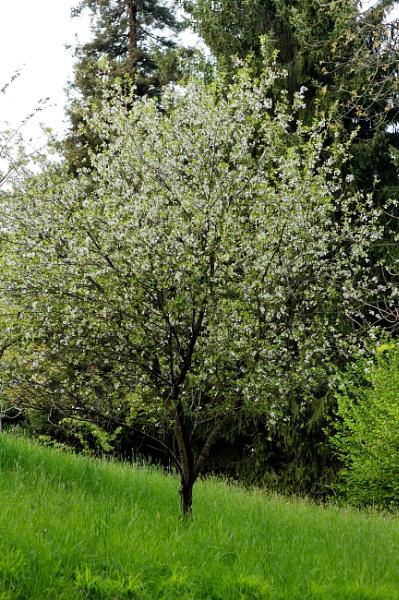 Flowering tree by maxrastello