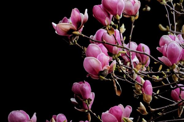 Lady Magnolia by maxrastello