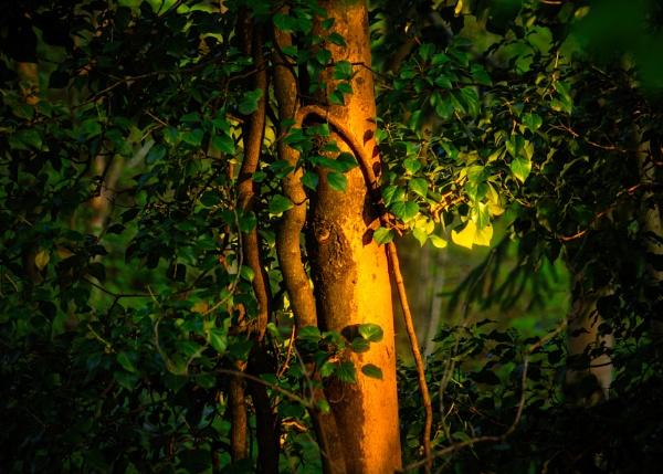 Wild Ivy Hedera by maxrastello