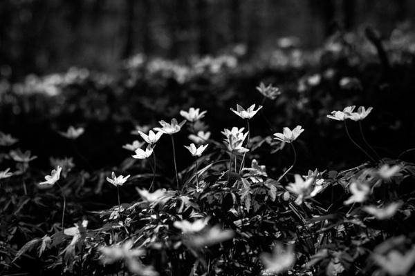Wildflowers  anemone nemorosai n the black nature by maxrastello