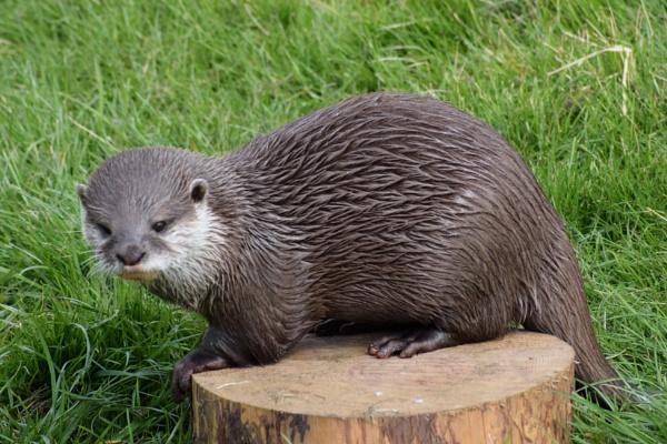 Otter by davyskid