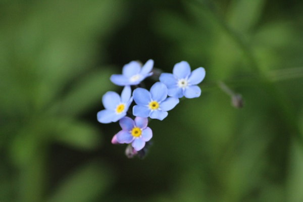 Forget-me-nots in Blue by MightyBraveKnight