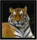 Amur Tiger by dven
