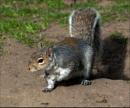 Grey Squirrel by aitchbrown
