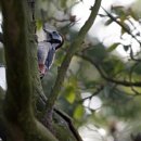 some images of the same woodpecker by macdaniel