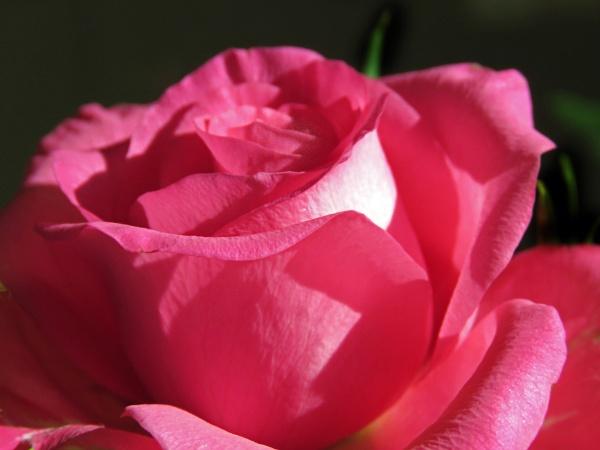 Pink Velvet by KarenFB