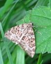 Carpet Moth by KarenFB
