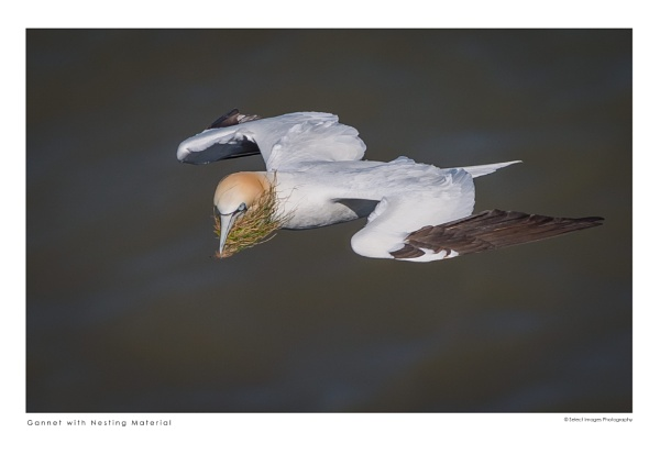 Gannet with Nesting Material by running_man