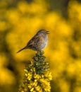 Dunnock by PLCimagery