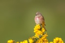 Male Linnet by PLCimagery