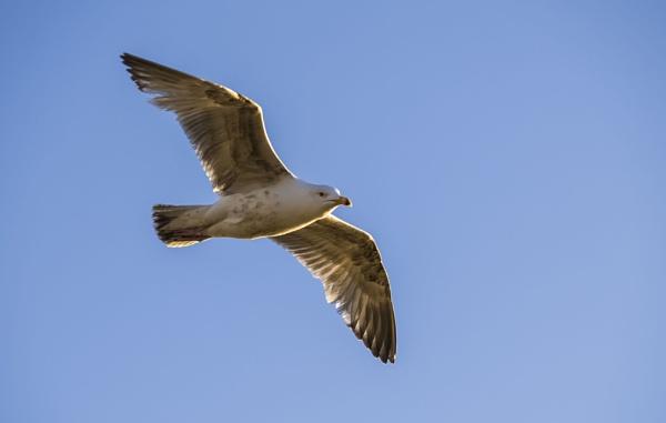 Golden Gull by chensuriashi