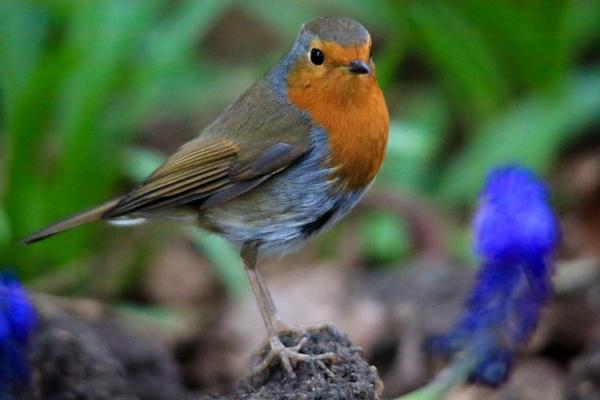 Robin by brianwakeling