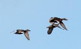 Gadwall in flight