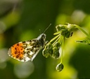 Male Orange Tip by ringyneck