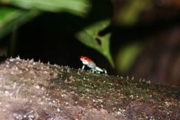 Strawberry Poison-Dart Frog or Blue Jean Frog