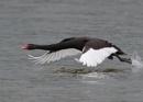 Black Swan in Flight by NeilSchofield