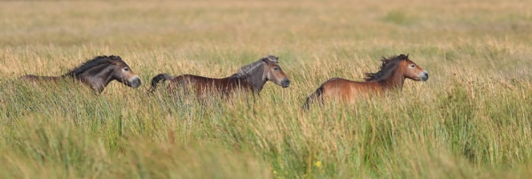 Horses from Burwell Fen