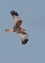 Howlands Marsh Harriers by NeilSchofield