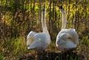 Swan by AndrewAlbert