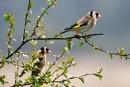 Goldfinch by AndrewAlbert