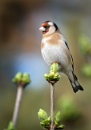 Goldfinch by paulbroad