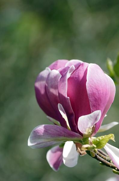 Magnolia by Silverzone