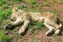 Tired Cub by gerryg