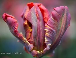 Ragged Tulip