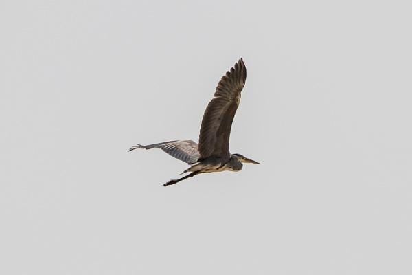 Grey Heron by WorldInFocus