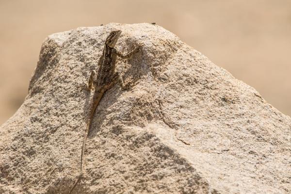 Sunbathing Lizard by WorldInFocus
