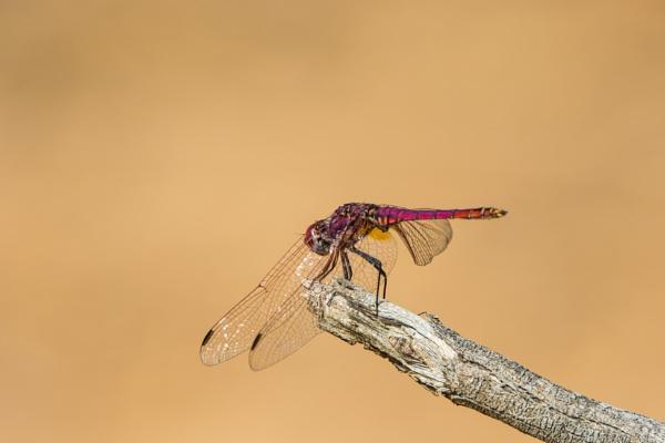 Crimson Marsh Glider by WorldInFocus