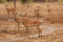 Impala alert by rontear