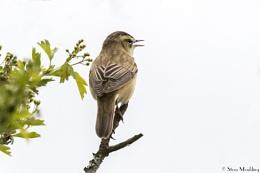 Sedge Warbler in Song