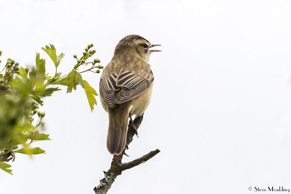 Sedge Warbler in Song by SteveMoulding