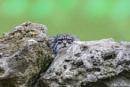 Spot the Pallas Cat. by SteveMoulding