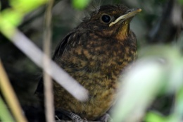 Baby Blackbird ready to leave the nest...