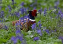Pheasant in Bluebells by PIXELLENCE