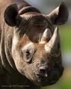 Rhino Portrait by Alan_Baseley
