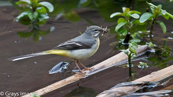 Grey Wagtail with Breakfast by p147180r