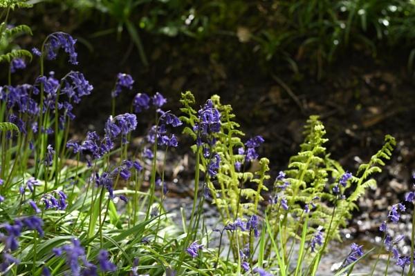 Bluebells & Ferns by ShaunsPics