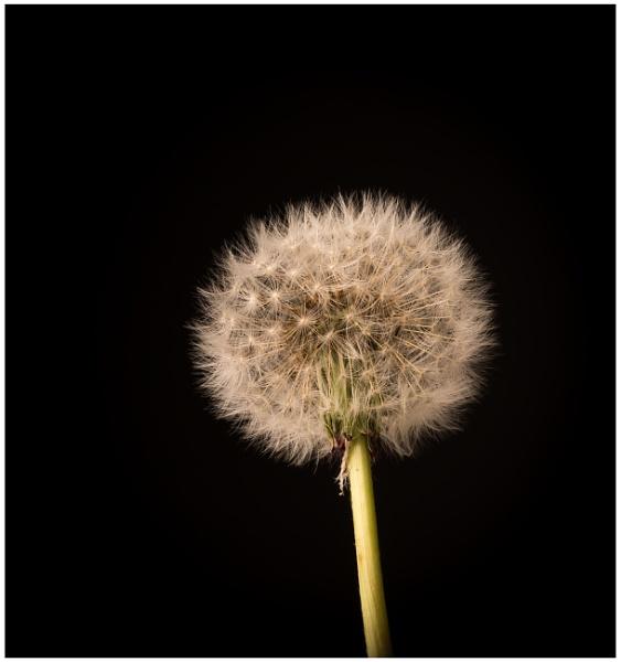 Dandelion by nikpro