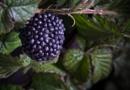 Tesco Pick 'n Mix jelly blackberry