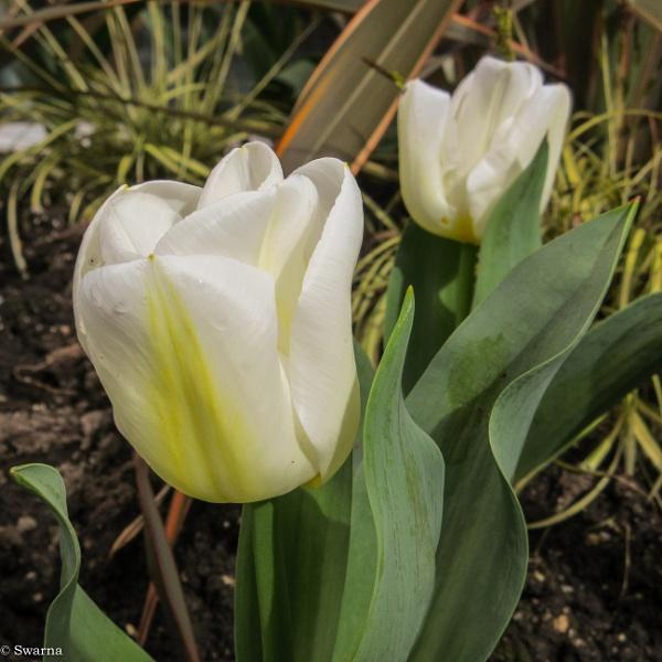 Tulip by Swarnadip