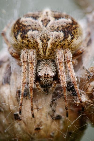 Orb Weaver - Agalenatea redii by Mendipman